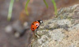 Makro- zakończenie w górę strzału ladybird, biedronka w ogródzie/, fotografia nabierająca UK zdjęcia stock