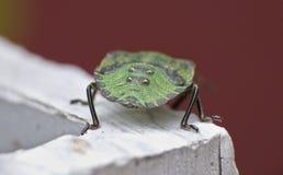 Makro- zakończenie w górę zielonej osłony pluskwy, smród pluskwy/, fotografia nabierająca UK zdjęcie stock