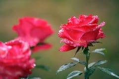 Makro- zbliżenie różowe kwitnące róże z wodą opuszcza pokazywać de obrazy royalty free