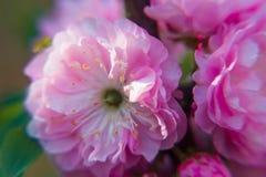 Makro- zbli?enie pi?knego Prunus triloba pi?kne menchie kwitnie z p?ytk? g??bi? zdjęcie stock