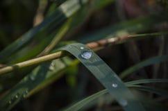 Makro- zbliżenie woda opuszcza na zielonej trawy ostrzu Zdjęcie Royalty Free