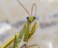 Makro- zielona modlenie modliszka gryźć swój antennae fotografia royalty free