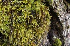 Makro- zielony mech na drzewie Zdjęcie Royalty Free
