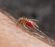 Makro- zjadliwy komar Obrazy Royalty Free