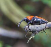 Makro- zwijacza insekt Zdjęcie Royalty Free