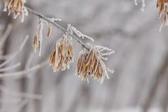 Makroahornsamen auf einer Niederlassung im Frost Stockbilder