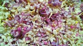Makroansicht der purpurroten und weißen Flieder stockfotografie