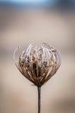 Makroansicht der Spitze des getrockneten Wildflower auf dem Gebiet mit selektivem Fokus lizenzfreie stockbilder