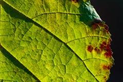 Makroansicht des grünen Blattes Lizenzfreies Stockbild