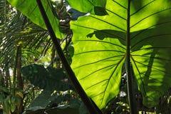 Makroansicht des riesigen geäderten grünen Blattes einer exotischen Anlage im thailändischen Wald unter dem Sonnenlicht Khao Lak Lizenzfreies Stockbild