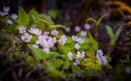 Makroansicht von Frühlingsblumen Stockbild