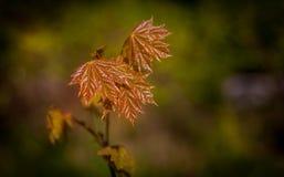 Makroansicht von jungen kleinen Ahornblättern Stockfotos