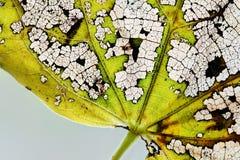 Makroansichtherbstblattaderbeschaffenheits-Skelettmuster Natürliche Variabilitätsfarbänderung in der Natur Organisches Altern läs Stockbilder