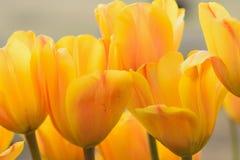 Makrobakgrund av gula tulpanblommor Arkivfoto