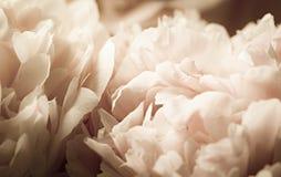 Makrobakgrund av pionblomman Fotografering för Bildbyråer