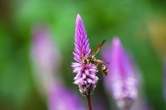 Makrobiene u. Blumen Stockfotografie