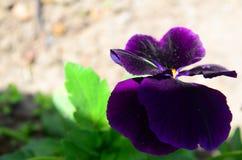 Makrobild av den purpurfärgade violeten Royaltyfria Bilder