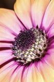 Makrobild av en ljust färgad blomma Royaltyfri Fotografi