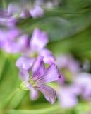 Makrobild av en Oxalis blomning Arkivbild
