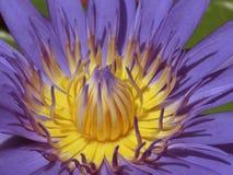 Makrobild av en purpurfärgad näckros Royaltyfria Bilder