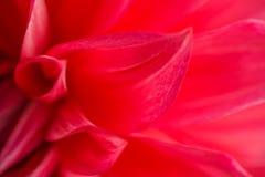 Makrobild av en röd dahliablomma i den nya blomningen, bakgrundsblomma Arkivbild