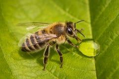 Makrobild av ett bi på ett blad som dricker en honungdroppe från en bikupa Fotografering för Bildbyråer