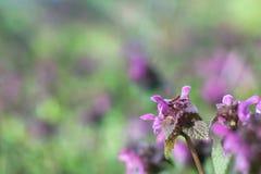 Makrobild av lila violetblommor för vår, abstrakt mjukt blom- Royaltyfri Fotografi
