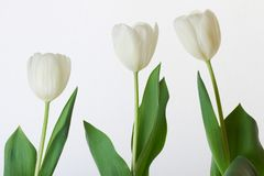 Makrobild av tulpankronblad royaltyfria bilder