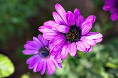 Makrobild av vårvioletblommor, abstrakt mjuk blom- bakgrund Royaltyfri Bild