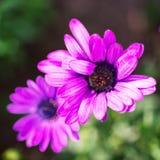 Makrobild av vårvioletblommor, abstrakt mjuk blom- bakgrund Arkivfoton