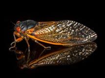Makrobild der Zikade von der Brut II Lizenzfreie Stockfotos