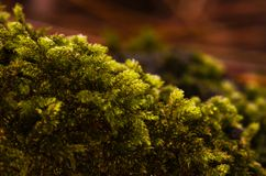 Makrobild des grünen Mooses aus den Waldgrund lizenzfreie stockbilder
