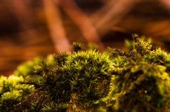 Makrobild des grünen Mooses aus den Waldgrund lizenzfreies stockbild
