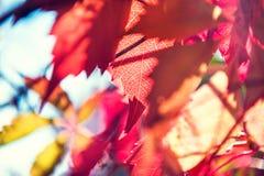 Makrobild des roten Herbstlaubs Stockbild