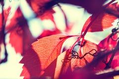 Makrobild des roten Herbstlaubs mit kleiner Schärfentiefe Lizenzfreies Stockfoto
