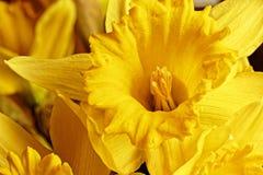 Makrobild einer gelben Narzisse stockfotos