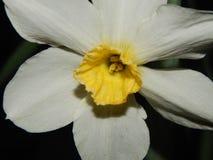 Makrobild einer Lilienblume Stockbild