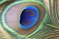 Makrobild einer Pfau-Feder Stockbilder