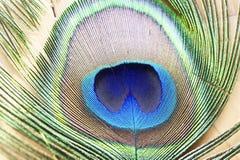 Makrobild einer Pfau-Feder Stockfotografie