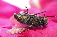 Makrobild einer toten Fliege Stockfotografie