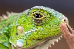 Makrobild eines grünen Leguans Stockbild