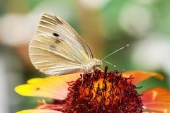 Makrobild eines Schmetterlinges, der auf einer Blume stillsteht stockfoto