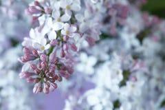 Makrobild von lila violetten Blumen des Frühlinges, abstraktes weiches Blumen Stockbilder