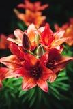 Makrobild von roten wachsenden Lilien im Garten, Nahaufnahmefoto stockfotos