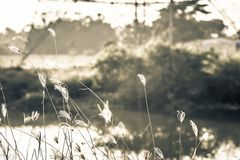 Makrobild von wilden Gräsern, kleine Schärfentiefe Weinlese-Effekt Wilde Gräser der schönen ländlichen Natur bei goldenem Sommers stockfotos