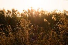 Makrobild von wilden Gräsern, kleine Schärfentiefe Weinlese-Effekt Wilde Gräser der schönen ländlichen Natur bei goldenem Sommers stockbilder