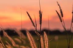 Makrobild von wilden Gräsern, kleine Schärfentiefe Weinlese-Effekt Wilde Gräser der schönen ländlichen Natur bei goldenem Sommers stockfoto