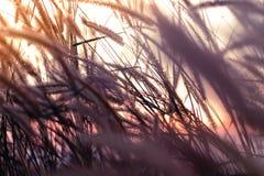 Makrobild von wilden Gräsern, kleine Schärfentiefe Weinlese-Effekt Wilde Gräser der schönen ländlichen Natur bei goldenem Sommers stockbild