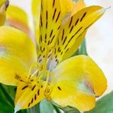 Makrobilder från blommorna av houseplants Arkivbild