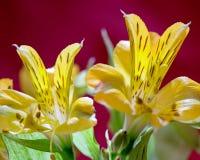 Makrobilder från blommorna av houseplants Royaltyfri Fotografi
